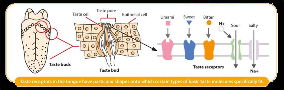อวัยวะสัมผัสรสบนลิ้น แสดงตัวรับรสที่ได้จากกลูตาเมตอิสระ ทำหน้าที่ส่งผ่านรสอูมามิระหว่างลิ้นและสมอง